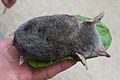 Eastern mole.jpg