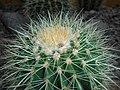 Echinocactus grusonii 2016-05-31 1775.jpg