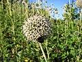 Echinops-sphaerocephalus-bumblebee-0a.jpg