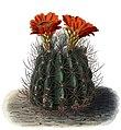 Echinopsis lateritia BlKakteenT120.jpg