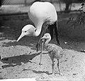 Echtpaar Paradijs-Kraanvogel in Artis heeft kleintje, Bestanddeelnr 914-1203.jpg