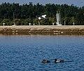 Egret fly-by (31473986381).jpg