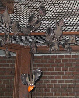 Egyptian fruit bats.jpg