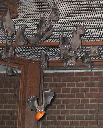 Colony of Egyptian fruit bats in the Budapest Zoo