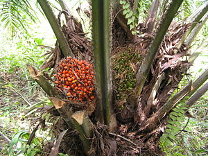 Elaeis guineensis fruits on tree, ripe and 2 w...