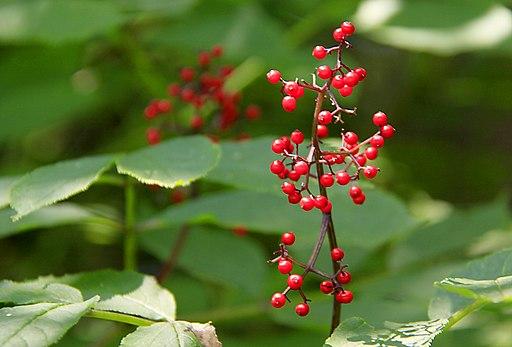red Elderberries (7713216842)
