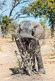 Elefante africano de sabana (Loxodonta africana), parque nacional de Chobe, Botsuana, 2018-07-28, DD 38.jpg