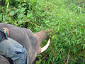 Elephant ride in Chiang Rai Province 2007-05 9.JPG