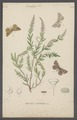 Ematurga - Print - Iconographia Zoologica - Special Collections University of Amsterdam - UBAINV0274 058 01 0072.tif