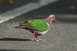 Emerald Dove - Khao Yai - Thailand S4E5692 (14086415158) (2).jpg