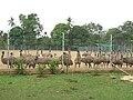 Emu-Farm-Moodbidri.JPG