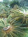 Encephalartos friderici-guilielmi KirstenboshBotGard09292010H.JPG