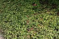 Epimedium x versicolor Sulphureum 4zz.jpg