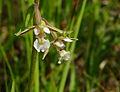 Epipactis palustris - flowers.jpg