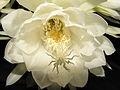 Epiphyllum-oxypetallum-whitelight-frontside.JPG