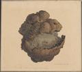 Equus caballus - enteroliet - 1851 - Print - Iconographia Zoologica - Special Collections University of Amsterdam - UBA01 IZAA100292.tif