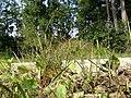 Eragrostis albensis sl25.jpg