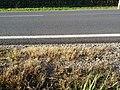 Eragrostis multicaulis sl5.jpg