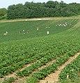Erdbeerfeld - panoramio.jpg