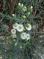 Erigeron bonariensis (Familyː Asteraceae) - weed.jpg