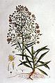 Erigeron canadense — Flora Batava — Volume v1.jpg