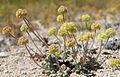 Eriogonum argophyllum large.jpg