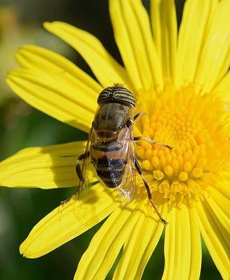 Eristalinus taeniops - Image: Eristalinus June 2014 1