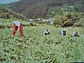 Ernte der Ananas-Erbeere.jpg