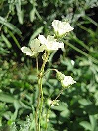 Erodium chrysanthum flowers.jpg