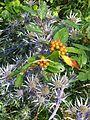 Eryngium bourgatii & Chamaemespilus fruits (9341569103).jpg