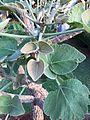 Erythrina latissima01.jpg