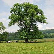 Esche im Naturschutzgebiet Elpetal bei Gevelinghausen im Hochsauerlandkreis.JPG