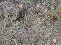 Escobaria missouriensis (4007458541).jpg