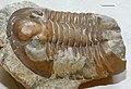 Estonian Museum of Natural History Specimen No 171704 photo (g1 g1-439 a jpg).jpg