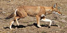 Ethiopian wolf side view.jpg