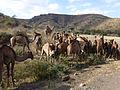 Ethiopie-Dromadaires entre Debre Birham et Kombolcha (2).jpg