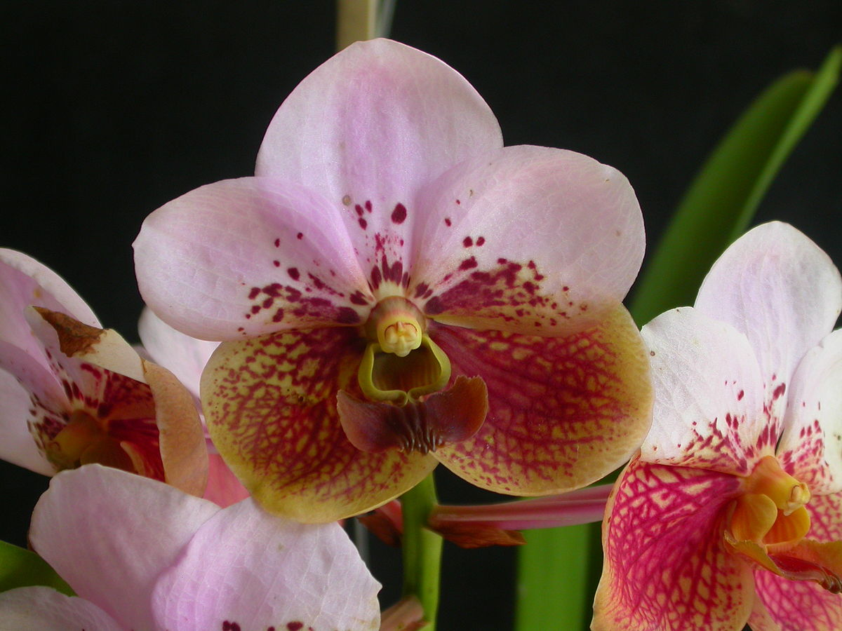 List of the orchids of the philippines wikipedia izmirmasajfo