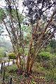 Eucalyptus conferruminata - UC Santa Cruz Arboretum - DSC07382.JPG