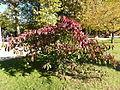 Euonymus grandiflorus-Jardin des plantes 04.JPG