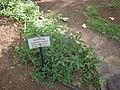 Eupatorium riparium - Jardin d'Éden.JPG