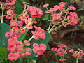 Euphorbia56.JPG