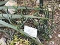 Euphorbia antisyphilitica - Palmengarten Frankfurt - DSC01732.JPG