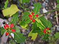 Euphorbia cyathophora.jpg