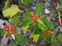 Heron Island-Flora-Euphorbia cyathophora