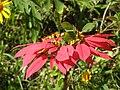 Euphorbia pulcherrima2.JPG