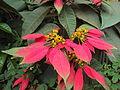 Euphorbia pulcherrima leaves and flowers.JPG