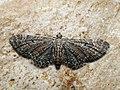Eupithecia denotata - Campanula pug - Цветочная пяденица колокольчиковая (41980058160).jpg