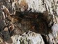 Eupsilia transversa - The Satellite - Совка воинственная (43774086104).jpg