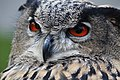 Eurasian Eagle Owl Bubo Bubo Bird Up Close.jpg