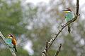 European Bee-eaters (Merops apiaster) (16693608392).jpg